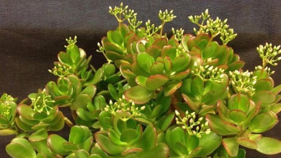 6 loại cây phú quý nên trồng trong nhà giúp lọc không khí, chiêu tài đón lộc-3