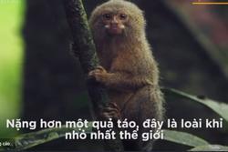 Loài khỉ nhỏ nhất hành tinh, nặng ngang một quả táo