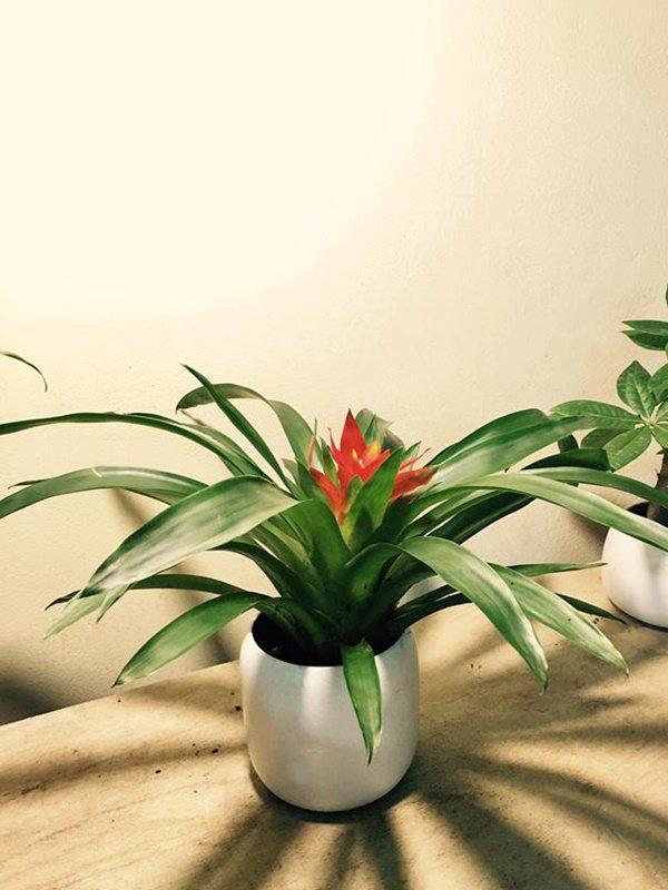5 loại cây trồng ban công giúp chiêu tài, vượng vận nhà nào cũng nên đặt-6