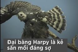 Khả năng săn mồi của loài đại bàng lớn nhất thế giới