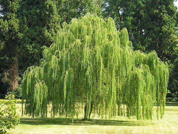 5 loại cây tuyệt đối không trồng trước nhà 3 tháng cuối năm, có phải chặt ngay mới tốt-3