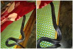 Xôn xao hình ảnh con rắn lớn cuộn mình trên giường khiến nhiều người phát hoảng