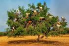 Dê núi đứng trên những cành cây ở Morocco