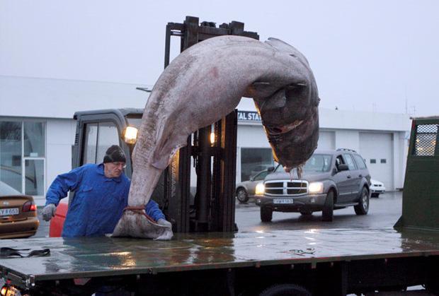 Iceland có món cá mập thối kinh dị đến mức khiến Gordon Ramsay nôn mửa ngay khi vừa nếm, nhưng nhiều người vẫn thích mê-1