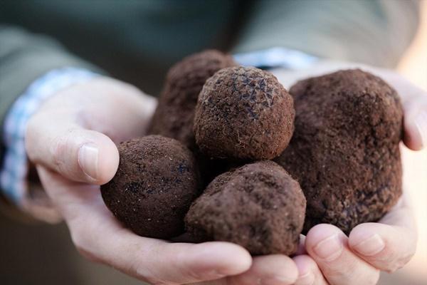 Loại nấm xấu xí có giá vài trăm triệu mỗi kg, nhà giàu tìm mua bằng được-1