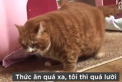 Gặp gỡ con mèo 10 kg, không thể tự di chuyển