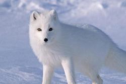 Quần thể cáo tuyết Bắc Cực lớn nhất ở Na Uy