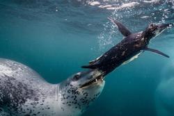 Chim cánh cụt chạy thoát kẻ săn mồi hải cẩu ở Nam Cực