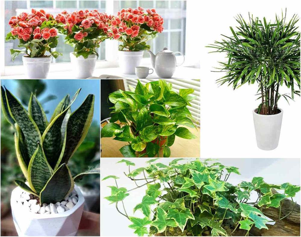 TOP 5 loài cây trồng vừa mang phong thủy lại phòng chống ung thư-1