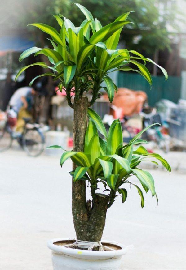 5 loại cây nghe tên đã thấy giàu, để trong nhà vào ngày Tết giúp gọi tài lộc gấp 10 lần-4