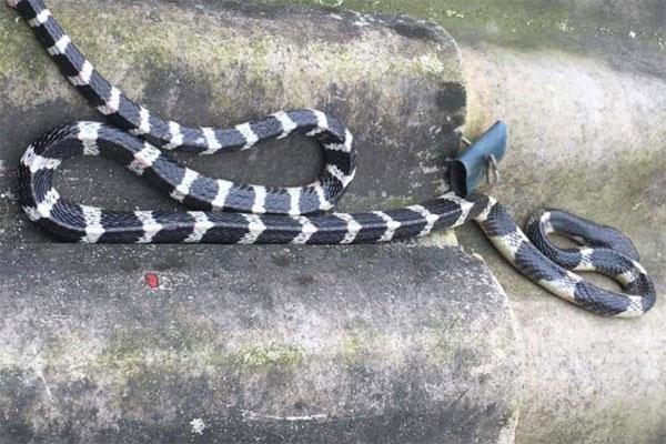 Bé trai 20 ngày tuổi bị rắn bò lên giường cắn chết-1