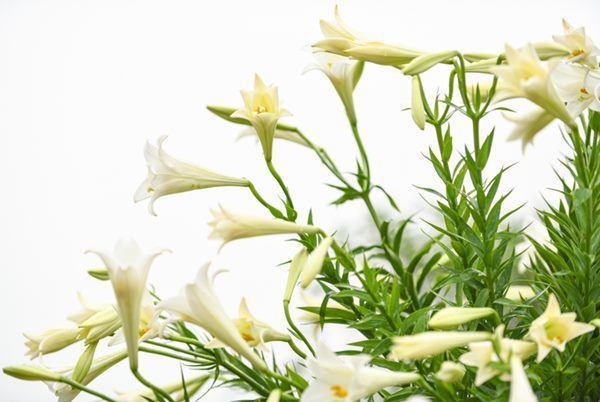 Những loại hoa đẹp nhà nào cũng thích trưng Tết nhưng có con nhỏ không nên mua-2