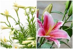 Những loại hoa đẹp nhà nào cũng thích trưng Tết nhưng có con nhỏ không nên mua