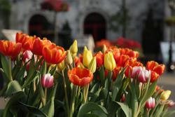 Sắc màu xuân bung tỏa trên cánh đồng hoa tulip Hà Lan