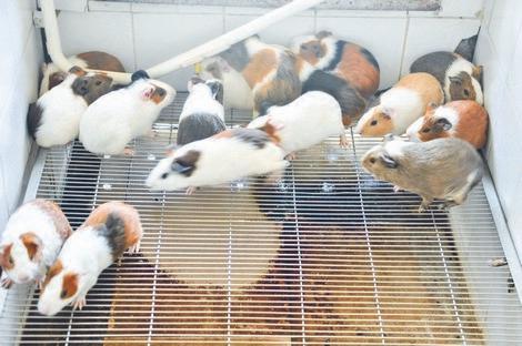 Độc nhất Việt Nam, nuôi 17 ngàn con chuột, ở chung cư, ăn bánh quy-1