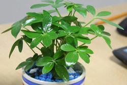 6 loại cây gọi tài lộc, đầu năm nhất định phải mua đặt bàn làm việc