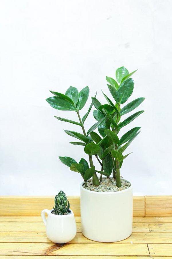 6 loại cây gọi tài lộc, đầu năm nhất định phải mua đặt bàn làm việc-2