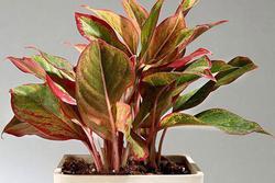 Cây phú quý hợp mệnh gì? Người nào nên trồng cây phú quý trong nhà?