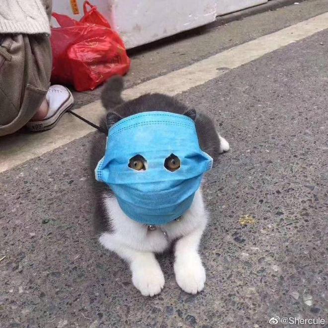 Ảnh mèo đeo khẩu trang giữa dịch virus corona gây bão mạng-1
