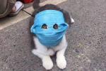 Ảnh mèo đeo khẩu trang giữa dịch virus corona gây bão mạng