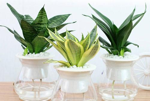 5 loại cây khí chất Thần Tài, không chỉ chiêu tài dẫn lộc mà còn lọc sạch khói bụi, vi khuẩn-1