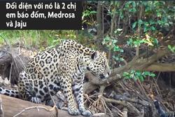 Rái cá Nam Mỹ gọi cả đàn xua đuổi báo đốm