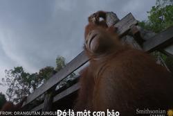 Loài đười ươi thông minh tự tết lá cây làm ô trú mưa