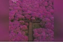 Xứ sở hoa đỗ quyên nở rộ vào mùa xuân