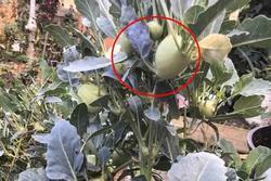 Hình ảnh 'lạ' gây chú ý mạng xã hội: Su hào mọc củ nhiều như cây ăn quả khiến tất cả bất ngờ