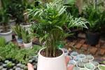 Trồng cây cau tiểu trâm giúp lọc không khí, tăng may mắn cho người mệnh Mộc