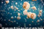 Đảo hoang không người ở, có 700.000 con sứa vàng