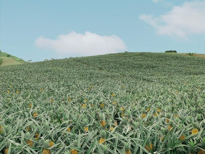 Bắc Giang cũng có một cánh đồng dứa đẹp mơ màng chẳng kém gì Ninh Bình-3