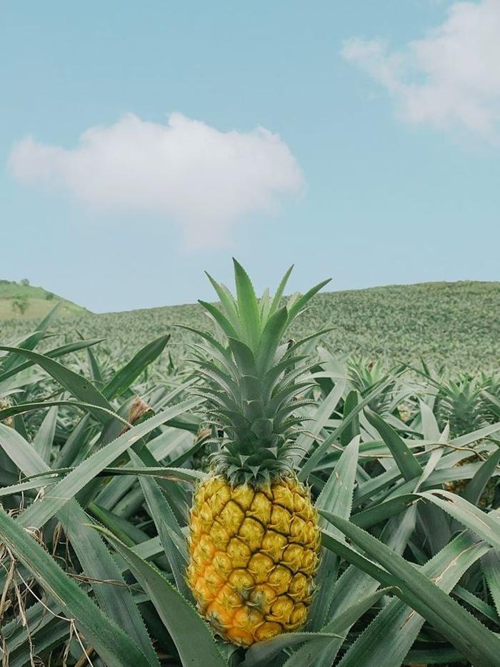 Bắc Giang cũng có một cánh đồng dứa đẹp mơ màng chẳng kém gì Ninh Bình-4