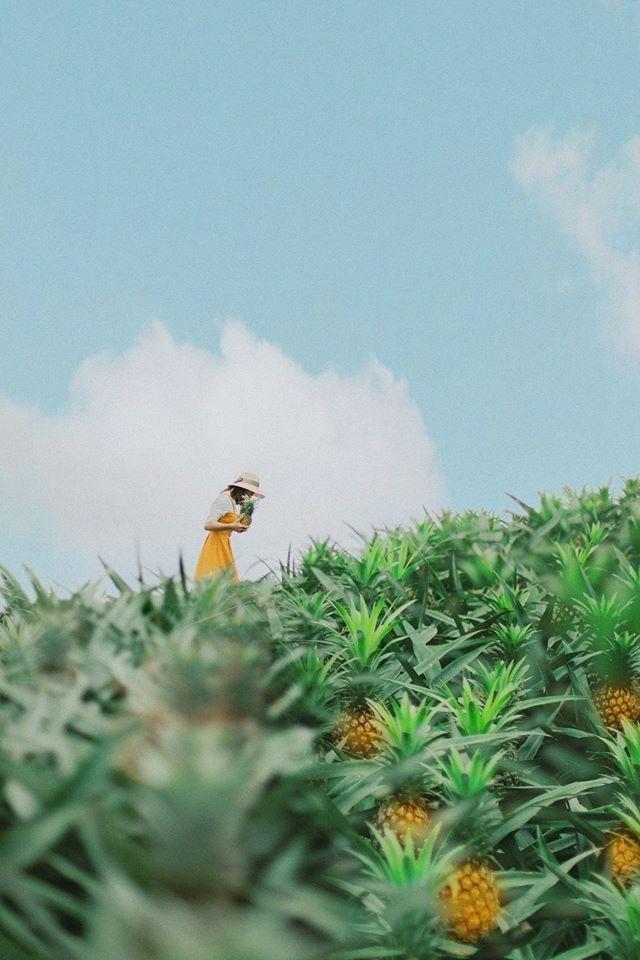 Bắc Giang cũng có một cánh đồng dứa đẹp mơ màng chẳng kém gì Ninh Bình-5