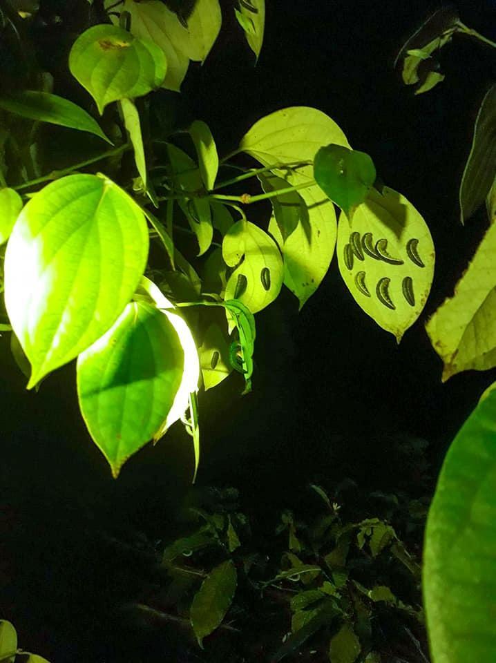 Độc, lạ món nhộng sâu muồng - tôm rừng của Tây Nguyên-2