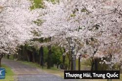 33.000 m2 hoa anh đào nở trắng trời Thượng Hải