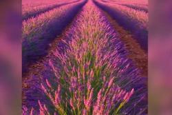 Những cánh đồng tím bất tận, ngát hương thơm ở Pháp