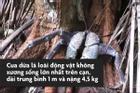 Loài cua có thể leo cây, chuyên săn chim và chuột