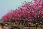 Vườn đào tuyệt đẹp ở Hy Lạp vắng du khách vì đại dịch COVID-19