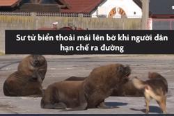 Sư tử biển lên bờ vì người dân cách ly tại nhà