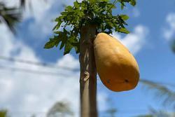 Cây đu đủ cằn cỗi dồn hết sinh lực nuôi trái duy nhất, nhìn quả siêu to khổng lồ dân mạng phán: 'Sẽ ngon ngọt lắm đây'