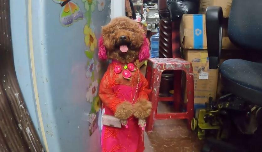MXH Việt phát cuồng cô chó đi bằng 2 chân, video mới xuất hiện hút gần 5,5 triệu lượt xem-4