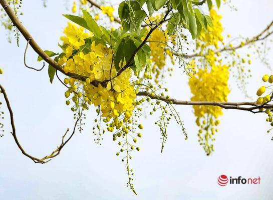 Ngắm vẻ đẹp dịu dàng, kiêu sa của hoa muồng hoàng yến ven hồ Tây-3