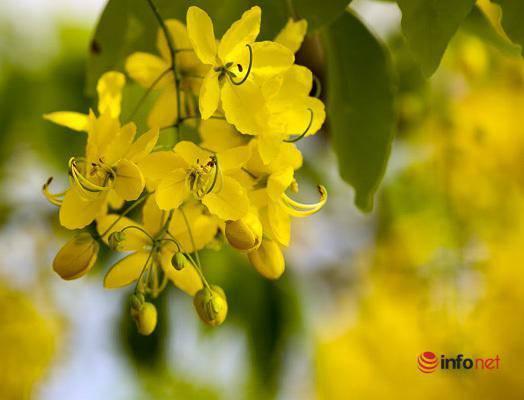 Ngắm vẻ đẹp dịu dàng, kiêu sa của hoa muồng hoàng yến ven hồ Tây-4