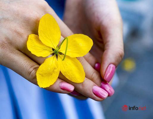 Ngắm vẻ đẹp dịu dàng, kiêu sa của hoa muồng hoàng yến ven hồ Tây-5