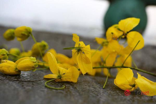 Ngắm vẻ đẹp dịu dàng, kiêu sa của hoa muồng hoàng yến ven hồ Tây-6