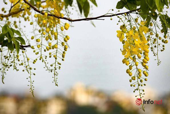 Ngắm vẻ đẹp dịu dàng, kiêu sa của hoa muồng hoàng yến ven hồ Tây-7