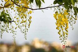 Ngắm vẻ đẹp dịu dàng, kiêu sa của hoa muồng hoàng yến ven hồ Tây