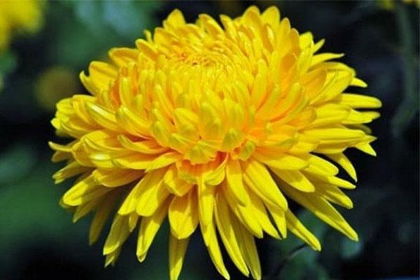 Đầu tháng cúng thần Tài cứ dâng những loại hoa phú quý-1