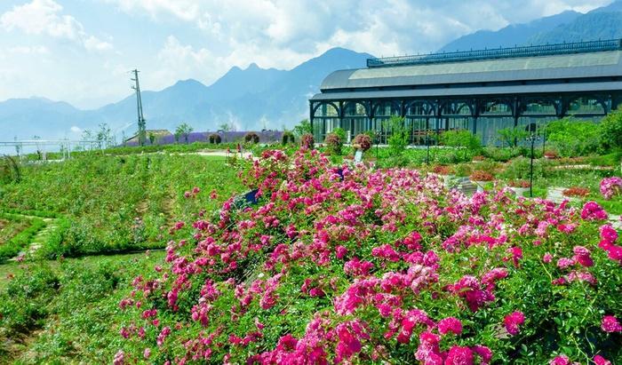 Lên Sapa ghé thăm thung lũng hoa hồng lớn nhất Việt Nam-1